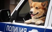 เกษียณแล้ว! เจ้า Ryzhiy คอร์กี้ K-9 เพียงตัวเดียวของกรมตำรวจรัสเซีย