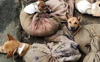 วิจารณ์เดือด! พบลักลอบขนสุนัขนำไปขายกินเนื้อในอินเดีย