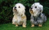 Dandie Dinmont Terrier สุนัขพันธุ์หายากจากเกาะอังกฤษ