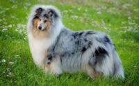 จัดอันดับ 5 สายพันธุ์น้องหมาขนยาวสวยที่ทุกคนต้องอิจฉา