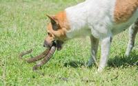 ทำไมสุนัขที่ถูกงูพิษกัดถึงตายง่ายกว่าแมว ?