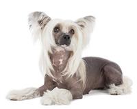 จัดอันดับ 5 สายพันธุ์น้องหมาไร้ขนเหมาะสำหรับคนที่เป็นโรคภูมิแพ้