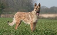 Belgian Laekenois สุนัขพันธุ์หายากที่มีไม่ถึงพันตัวทั่วโลก