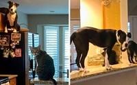 เรื่องราวน่ารักของ เจ้า Mako พิทบูลที่คิดว่าตัวเองเป็นแมว!