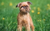 Brussels Griffon น้องหมาขี้เล่นที่เลี้ยงในพื้นที่จำกัดได้ ..