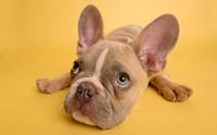 จัดอันดับ 5 สายพันธุ์น้องหมาขาสั้น น่ารักตะมุตะมิ