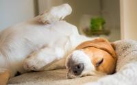 รู้หรือไม่ ... น้องหมาไม่ยอมนอนหงายท้องในทุกที ทุกเวลา