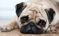 ทำไมสุนัขพันธุ์หน้าสั้นยังคงเป็นที่นิยมเลี้ยงแม้จะมีปัญหาสุขภาพ