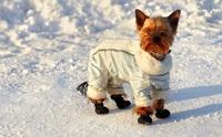 อากาศเย็นแล้ว ... สุนัขจำเป็นต้องใส่เสื้อกันหนาวหรือไม่?
