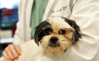 เอาแล้วไง! พบเชื้อก่อโรคในสุนัข rickettsia สายพันธุ์ใหม่ติดต่อจากเห็บ