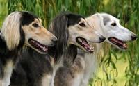 จัดอันดับ 5 สายพันธุ์น้องหมาวิ่งเร็วที่สุดในโลก