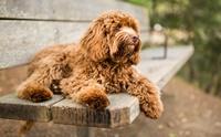 งานวิจัยใหม่พบว่าสุนัขพันธุ์ลาบราดูเดิ้ลมีพันธุกรรมเป็นพุดเดิ้ลมากกว่า