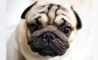 จัดอันดับ 5 สายพันธุ์น้องหมาหน้าย่น นิยมเลี้ยงทั่วโลก!