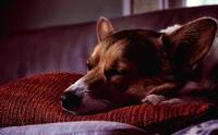เชื้อโนโรไวรัส (Norovirus) โรคระบาดจากคนสู่สุนัขได้