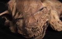สุดทึ้ง!! พบมัมมี่ลูกสุนัขป่าสภาพสมบูรณ์ที่แคนาดาอายุกว่า 57,000 ปี