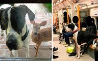 ส่องความน่ารัก! 30 ภาพเกรทเดนที่คิดว่า ตัวเองเป็นสุนัขพันธุ์เล็ก
