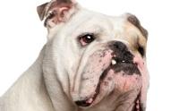 7 สิ่งน่ากลัว เมื่อสุนัขอ้วน (1)
