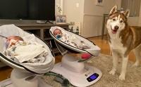 น่ารักละลายใจ! เจ้า Pizza ฮัสกี้ที่ทำหน้าที่เป็นพี่เลี้ยงทารกฝาแฝด
