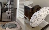 พี่หมาแสนรู้คาบหมอนไปให้หนูน้อยทุกครั้งที่ได้ยินเสียงร้องไห้!