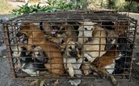 ภาพสะเทือนใจ สุนัข 61 ตัวถูกขังไว้ในกรงก่อนส่งไปโรงฆ่าสัตว์!