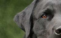7 สายพันธุ์สุนัขขนสีดำสุดนุ่มลึก สำหรับสายแบล็คไลท์