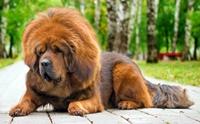 จัดอันดับ 5 สายพันธุ์สุนัขที่แพงที่สุดในโลกปี 2021