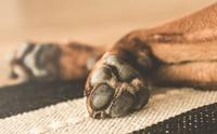 เคล็ด(ไม่)ลับ น้องหมาอุ้งเท้าแห้งและแตกป้องกันได้!