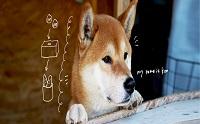 สุดเศร้า 'เคนคุง' น้องหมาชิบะขายมันเผาชื่อดังเสียชีวิต