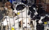 คร่าชีวิต 20 ลูกหมาน่าสงสาร ถูกขนย้ายในสภาพแออัด