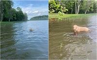 โกลเด้นฮีโร ช่วยชีวิตลูกกวางจมน้ำจนปลอดภัย!
