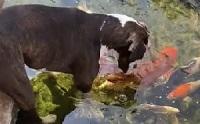 ไวรัลชวนอมยิ้ม เจ้าตูบเฟรนด์ลี่อยากสานสัมพันธ์กับฝูงปลาคาร์ฟ