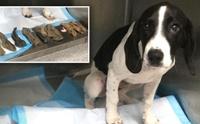 สัตว์แพทย์ช่วยชีวิตตูบสุดแสบกลืนถุงเท้าลงท้อง!
