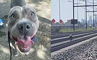 รอดหวิด! พิทบูลฯเดินเตร่บนรางรถไฟถูกช่วยชีวิตทัน