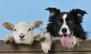 พาทัวร์ฟาร์มที่อังกฤษ ไอร์แลนด์ นิวซีแลนด์ ดูโชว์น้องหมาต้อนแกะ