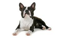 บอสตัน เทอร์เรียร์ - Boston Terrier