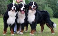 เบอร์นีส เมาน์เทนด็อก - Bernese Mountain Dog