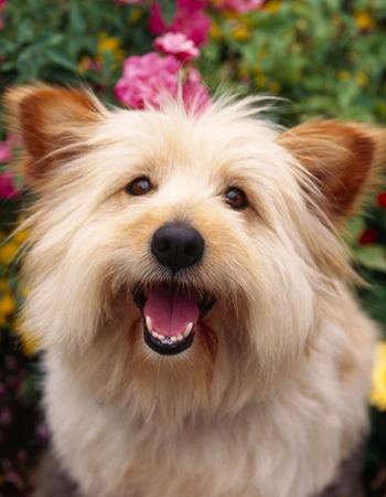 เครนเทอร์เรีย - Cairn Terrier