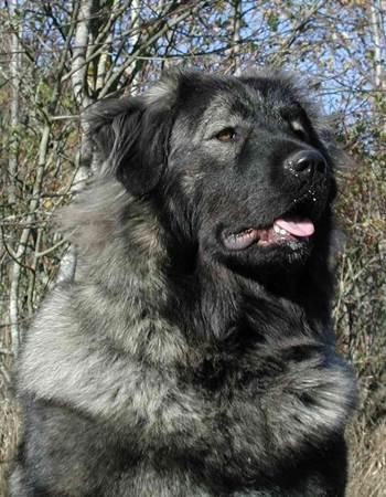 คอเคเซียน เชพเพิร์ด - Caucasian Shepherd