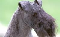 เคอร์รี บลู เทอร์เรีย - Kerry Blue Terriers