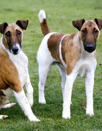 สมูธ ฟ็อกซ์ เทอร์เรีย - Smooth Fox Terrier