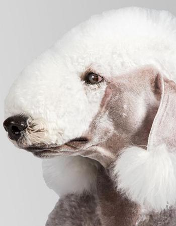 เบดลิงตัน เทอร์เรียร์ - Bedlington Terrier