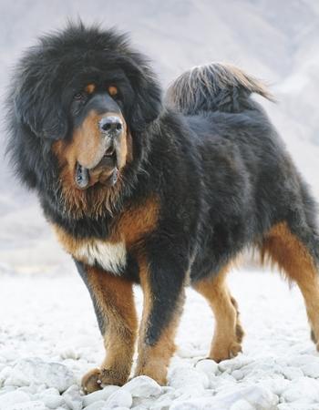 ทิเบตัน มาสทิฟฟ์ - Tibetan Mastiff