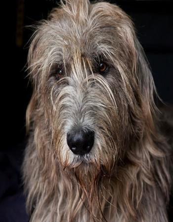 ไอริช วูล์ฟฮาวน์ด  - Irish Wolfhound
