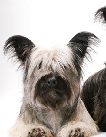 สกาย เทอร์เรีย - Skye Terrier