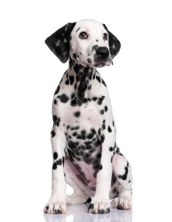 ดัลเมเชียน - Dalmatian