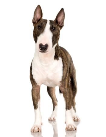 บูลล์เทอร์เรีย - Bull Terrier