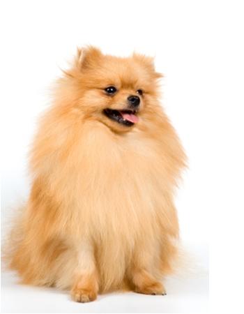 ปอมเมอเรเนียน - Pomeranian