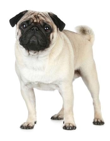 ปั๊ก - Pug