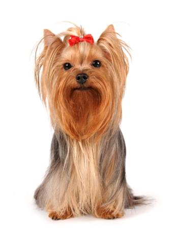 ยอร์คเชียร์เทอร์เรีย - Yorkshire Terrier