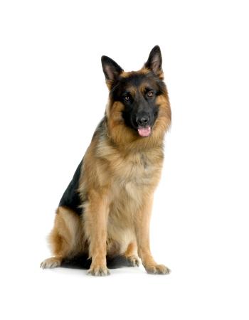เยอรมันเชฟเฟิร์ด - German Shepherd